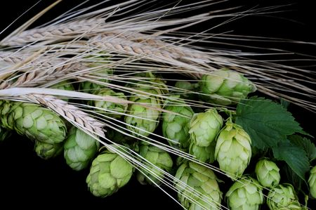 Beer brewing ingredients: Hops (Humulus lupulus) and barley