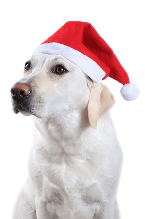 labrador christmas: White labrador retriever with red Santa Claus hat on white