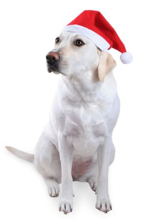 White labrador retriever with red Santa Claus hat on white