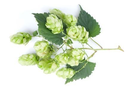 Fresh green hops (Humulus lupulus) on white background. Stock Photo