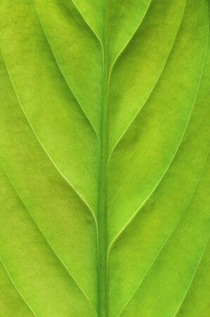 Detail of structure of a vivid green leaf. Stock Photo