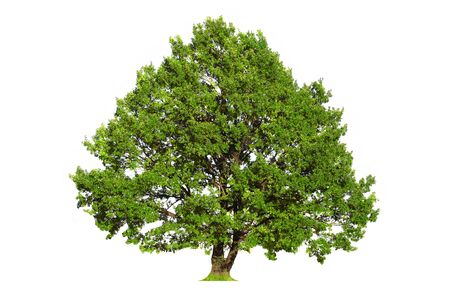 Green oak tree isolated on white background Stock Photo