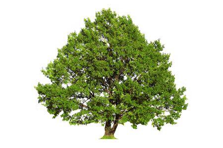deciduous: Green oak tree isolated on white background Stock Photo