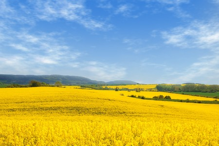 Rural landscape with oilseed rape fields and bright blue sky.