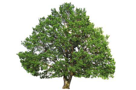 Green oak tree isolated on white background. Stock Photo