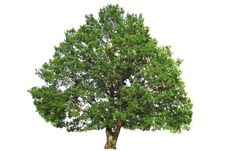 Green oak tree isolated on white background. Stock Photo