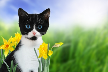 Cute black and white kitten in nature with yellow spring daffodils.