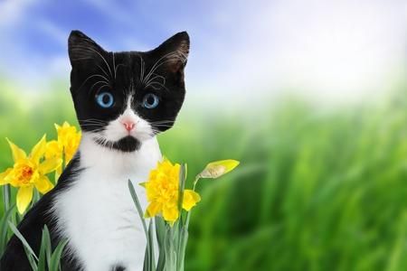 Lindo gatito blanco y negro en la naturaleza con narcisos amarillos de primavera.