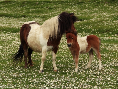 croft: Tan and White Shetland Pony Foal With Mother In A Field Of Daisies Stock Photo