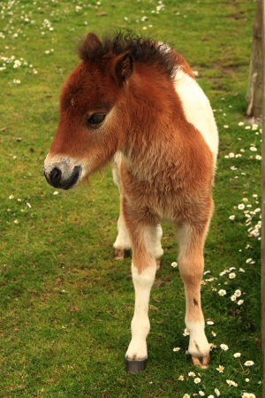 Tan And White Shetland Pony Foal In A Field photo