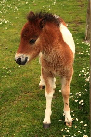 croft: Tan And White Shetland Pony Foal In A Field