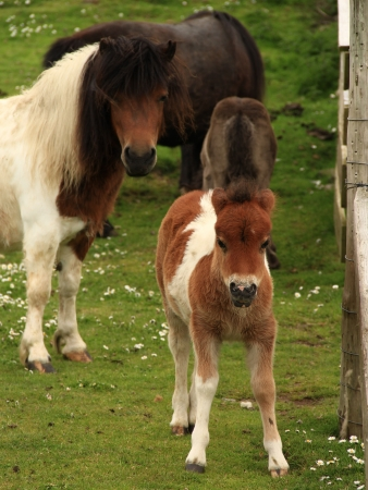 croft: Tan And White Shetland Pony Foal With Mother Pony
