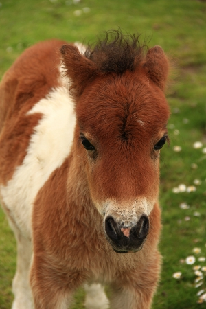 colt: Tan And White Shetland Pony Foal In Close Up