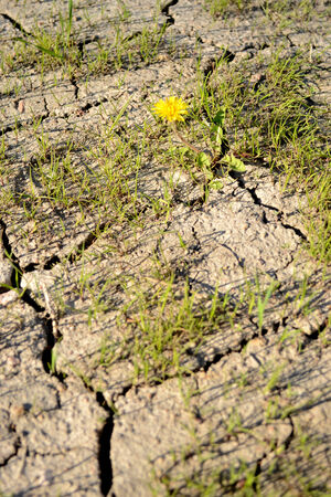 dryness: dandelion is coming through the cracked earth