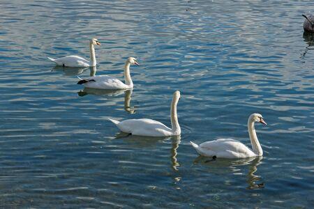 vevey: Swans swimming in Lake Geneva, Vevey, canton of Vaud, Switzerland