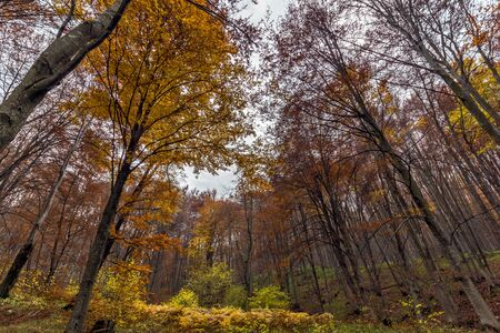 Yellow leafs of beech, Vitosha Mountain, Sofia City Region, Bulgaria Stock Photo