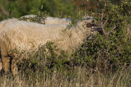 Grazing sheep near Rock phenomenon Stone Wedding near town of Kardzhali, Bulgaria