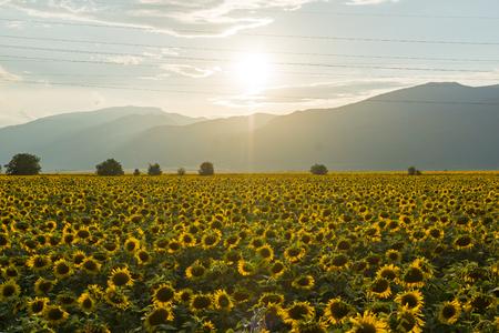 Amazing sunset landscape of sunflower field at Kazanlak Valley, Stara Zagora Region, Bulgaria