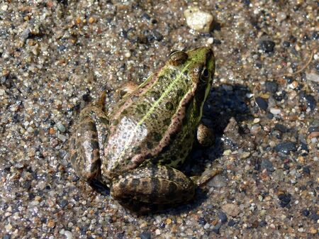Frog in a sand background
