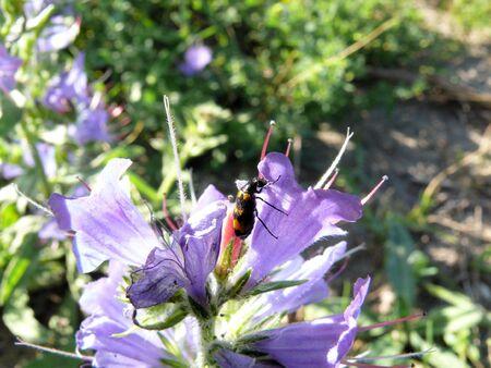 Beetle (Trichodes apiarius) on a flower (Echium vulgare) Stock Photo