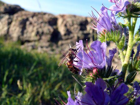 Bee (Apis mellifera) on a flower (Echium vulgare)
