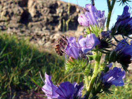 apis: Bee (Apis mellifera) on a flower (Echium vulgare)