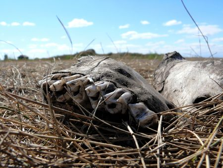 Old white Jaw of wild animal in steppe