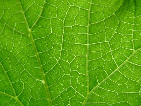 Texture of cucumber leaf