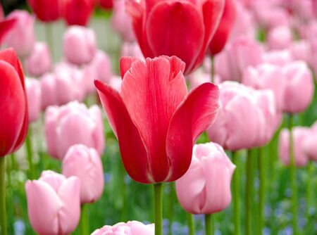 Many fresh bloom pink tulips in spring day