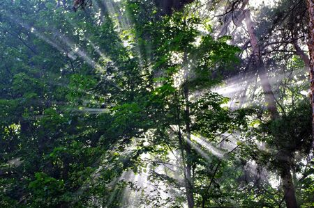 Background with rays of sun in the forest Stock Photo