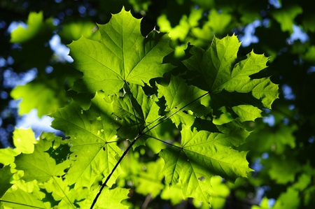 background with green maple leaves Stock Photo