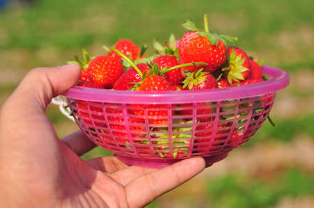 Fresh strawberries in the basket Stock Photo - 10545524