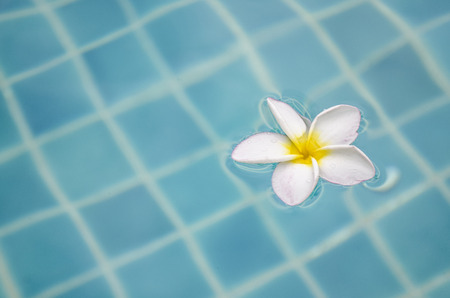 plumeria floating on blue water photo