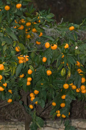mandarin tree is full of nothing but large tangerines photo