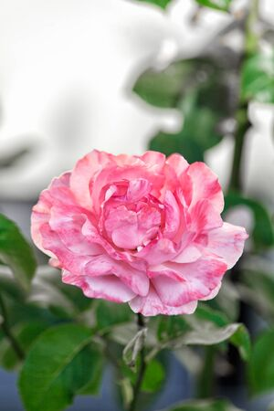 symbolic: Single pretty perfect pink rose growing on a bush in the garden symbolic of love and romance, with copyspace