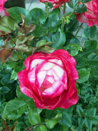 Garden rose with red and white flowers viewed from above in close-up growing outdoors