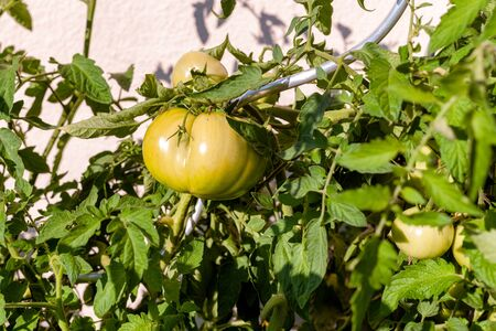 Close-up of a green tomato on a perennial with holder