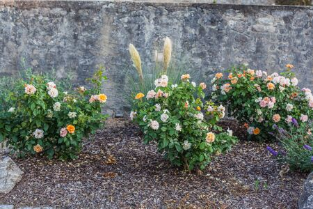 Rose bushes in front of a wall with zebra grass