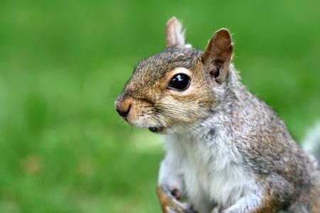 close up: Close up Squirrel Stock Photo