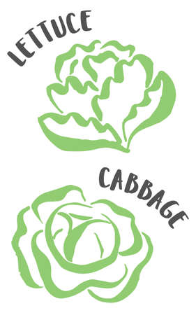 Cabbage and lettuce drawing hand painted with ink brush isolated on white background. Vector illustration Vetores