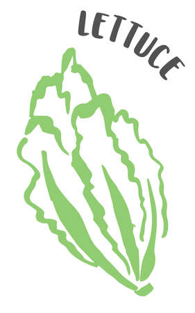 Lettuce drawing hand painted with ink brush isolated on white background. Vector illustration