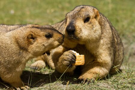 bisquit: Two marmots with bisquit on the green grass