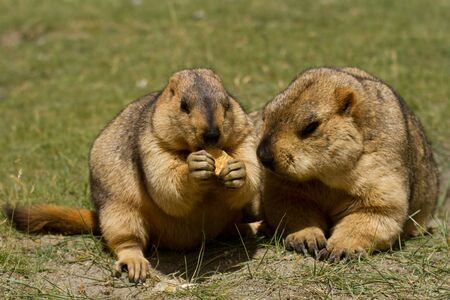 bisquit: Two marmots with bisquit on the green grass (Ladakh, India) Stock Photo