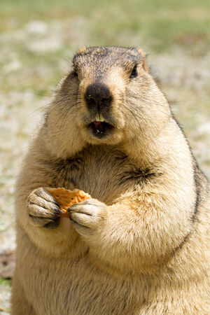 bisquit: Funny marmot with bisquit on the meadow (Ladakh, India) Stock Photo