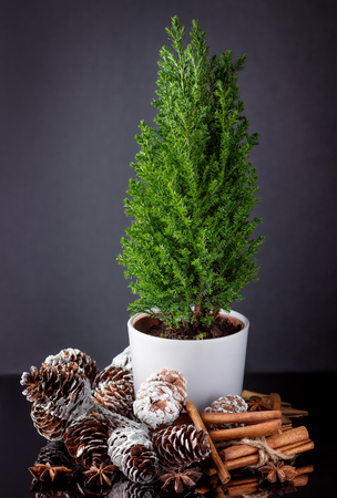 Small green cypress in the cup with cones, cinnamon sticks and anise on a dark background