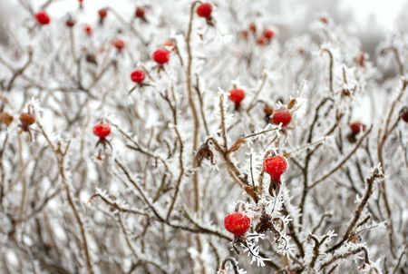 Brier bushes under the snow in december Stock Photo
