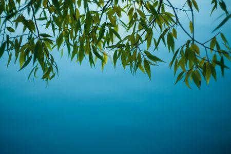 sauce: Colgando hacia abajo sobre el agua, el foco superficial de ramas de árboles de sauce Foto de archivo