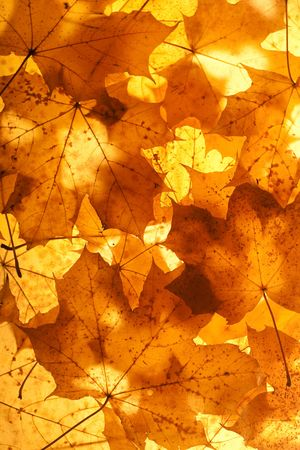 Closeup of fallen maple leaves background