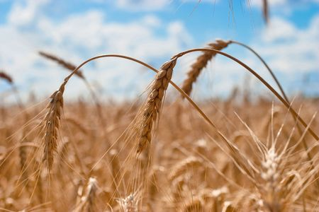 Beautiful field of ripe wheat under blue cloudy sky Stock Photo - 7084296