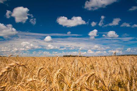Hermoso campo de trigo madura bajo cielo nublado azul Foto de archivo
